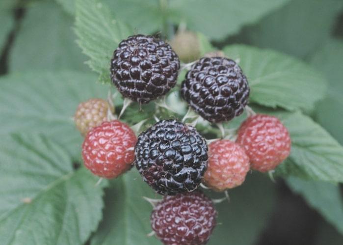 blackberry-jam-recipe-orchards-near-me