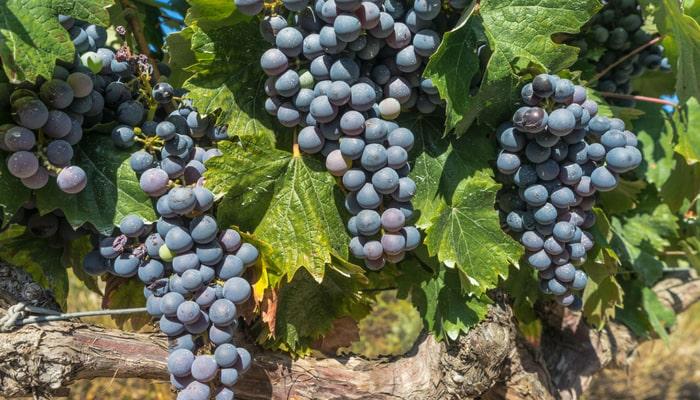 burgundy-wines