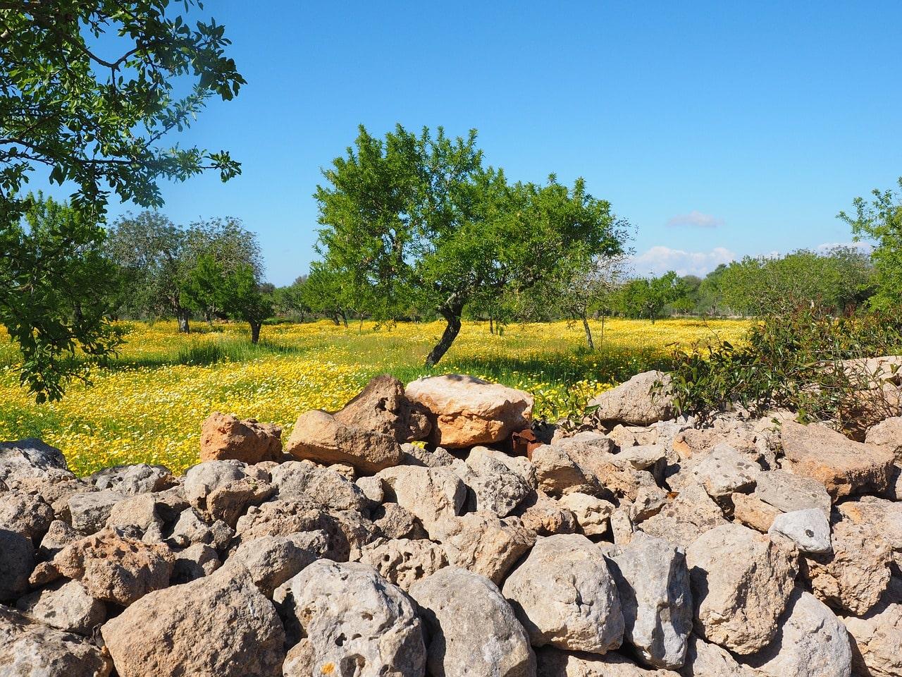 olive-tree-mallorca-spain-orchards-near-me