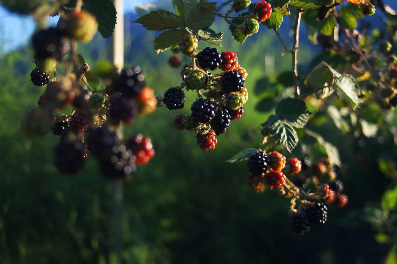 berries-and-baking-tour-berry-picking-ireland