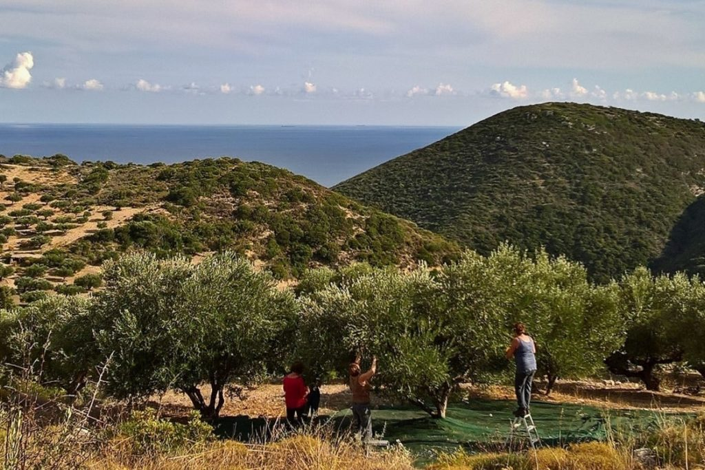 olive-picking-in-greece-orchards-near-me-experience