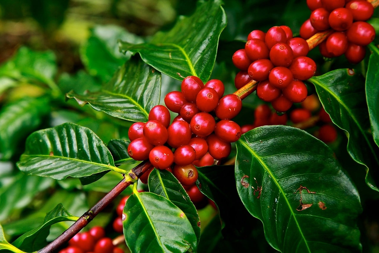 coffee-fruit-coffee-beans-did-you-know-orchards-near-me-min