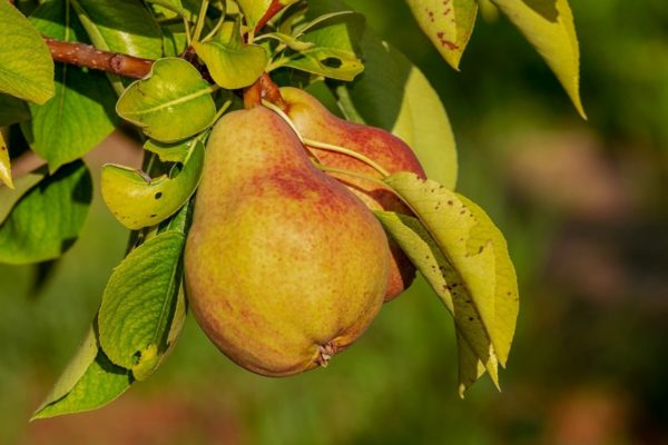pear-cider-tour-normandy-france