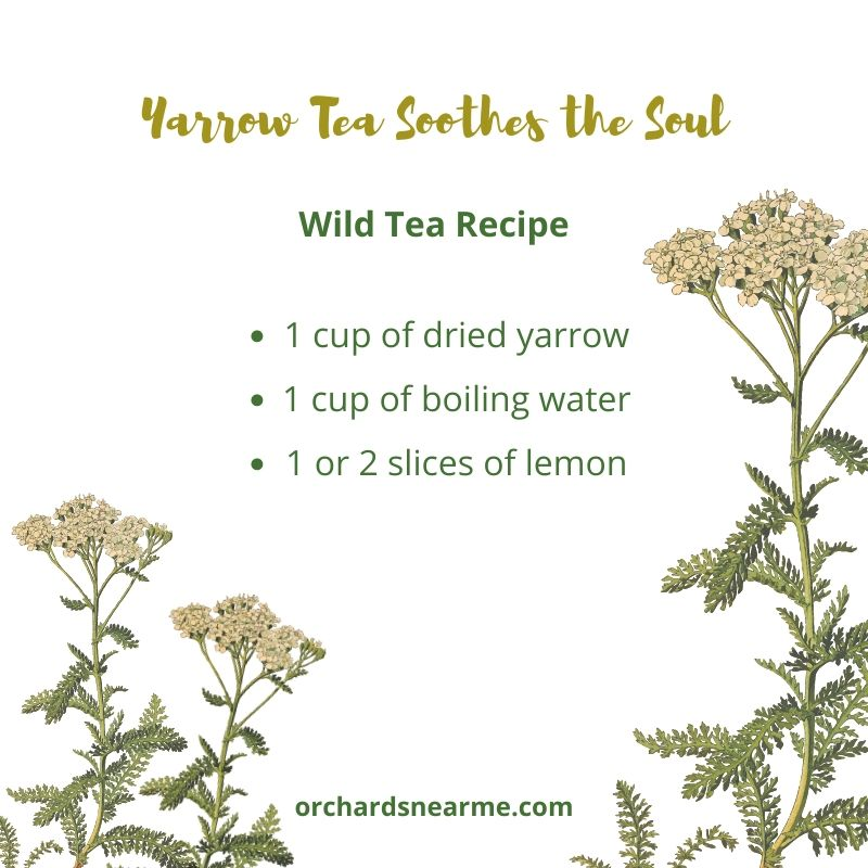yarrow-tea-recipe