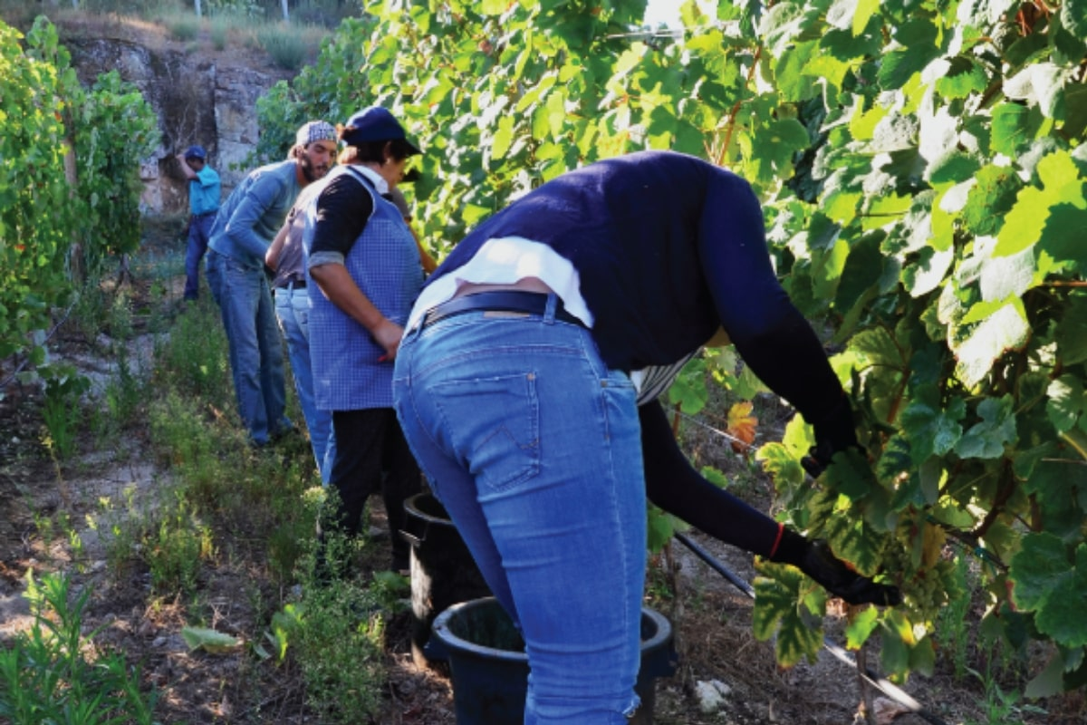 grape-picking-harvest-time-portugal-vineyard-tour-orchards-near-me