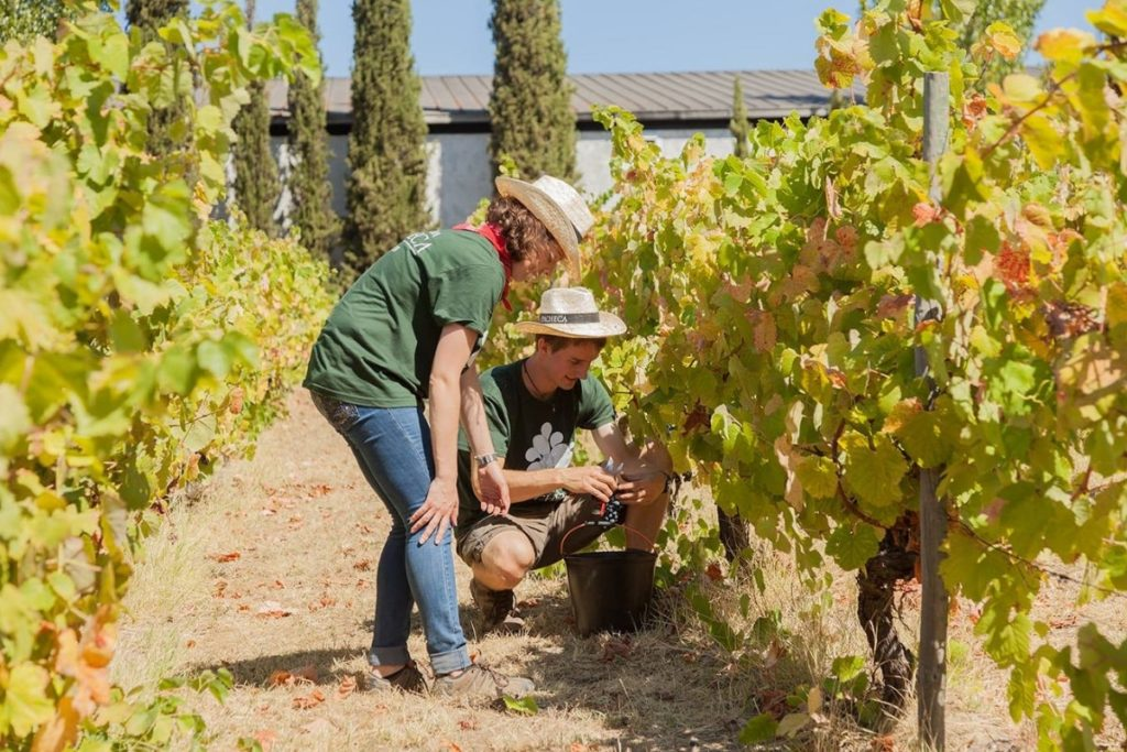 quinta-da-pecheca-vineyard-grape-picking