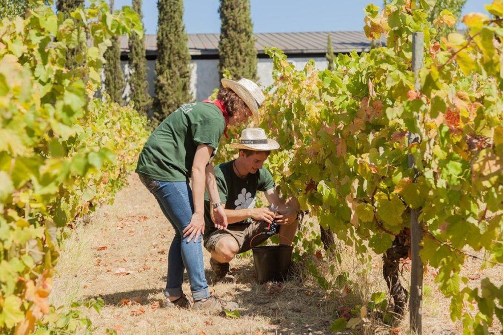 quinta-da-pecheca-vineyard-grape-picking