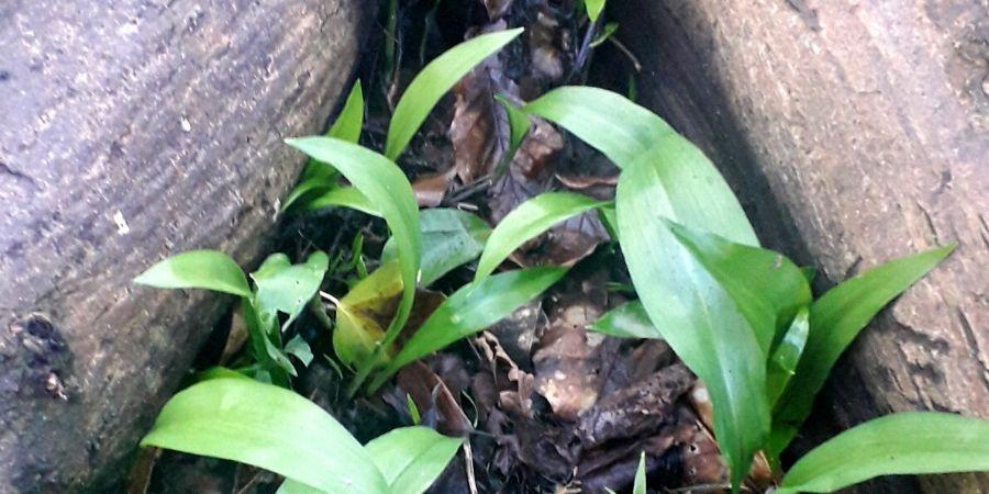 wild-garlic-pesto-recipe-orchards-near-me