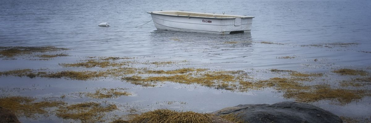 foraging-for-seaweed-sugar-kelp-ireland-orchards-near-me