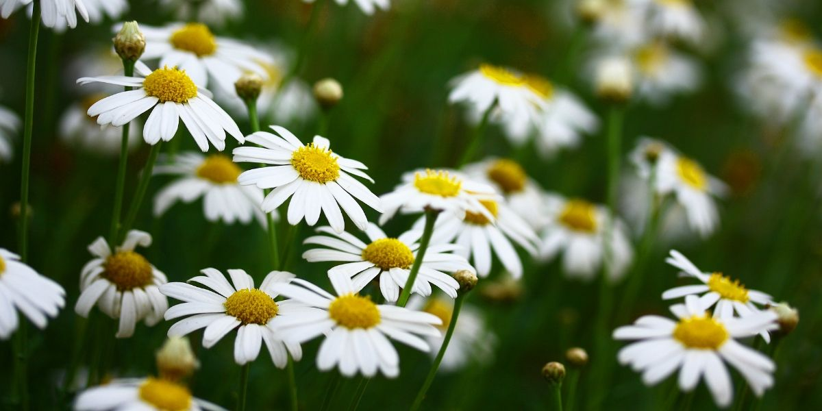 wild-chamomile-plant-help-with-insomnia-orchards-near-me
