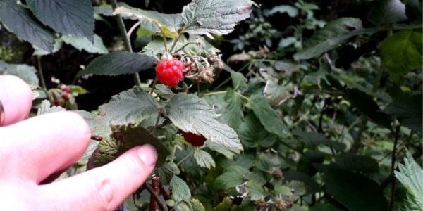 berry-picking-ireland-wild-food-tasting-orchards-near-me