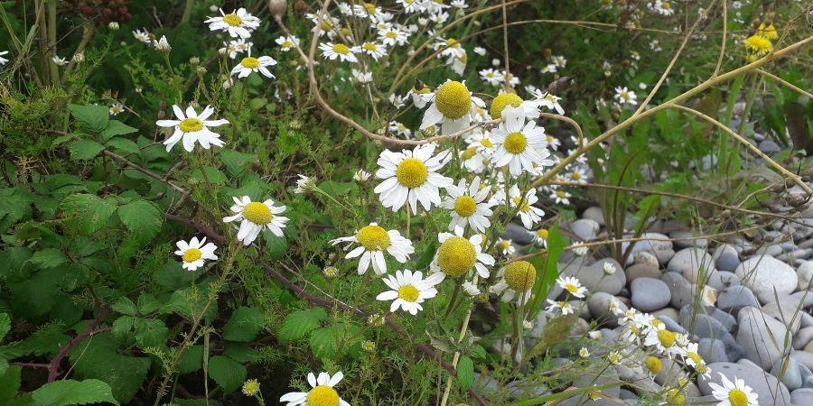 ox-eye-daisies-wild-edible-plants