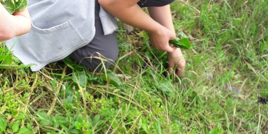 picking-sea-beet-by-the-sea-wild-foraging