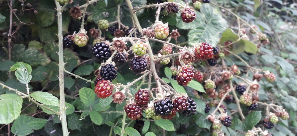 blackberry-foraging-in-autumn-orchards-near-me