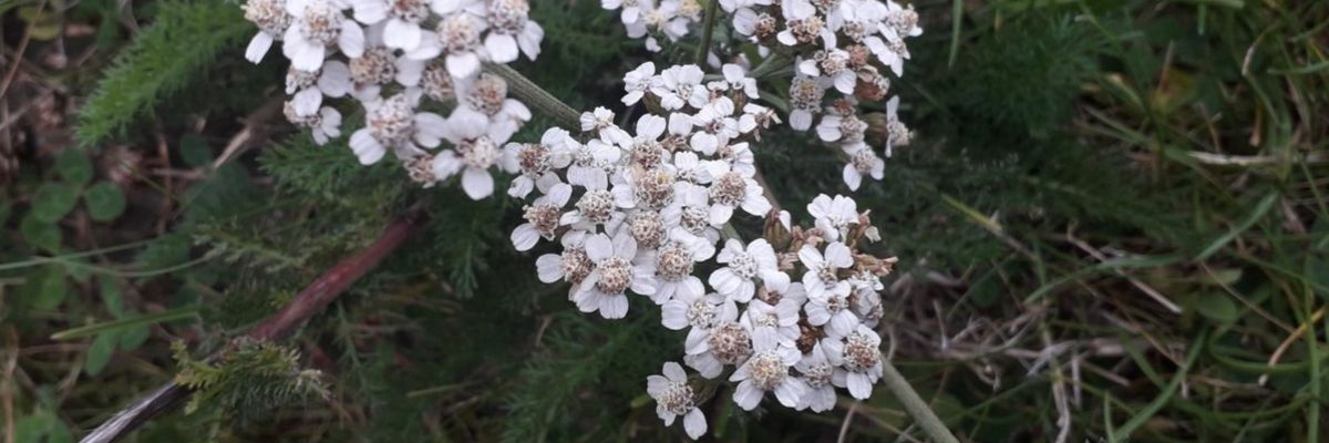 yarrow-tea-herbs-orchards-near-me