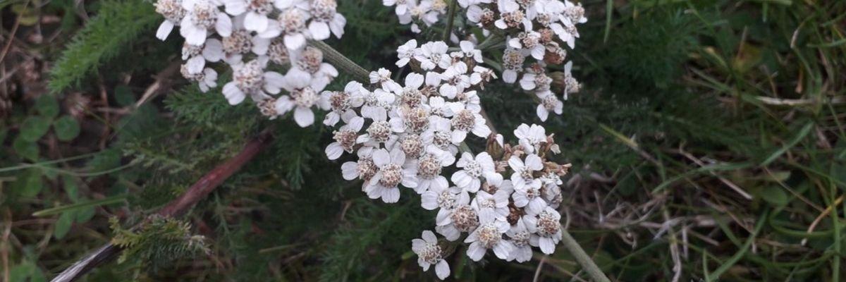 yarrow-tea-herbs-orchards-near-me