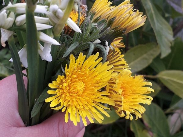 springtime-foraging-wild-garlic-and-dandelions