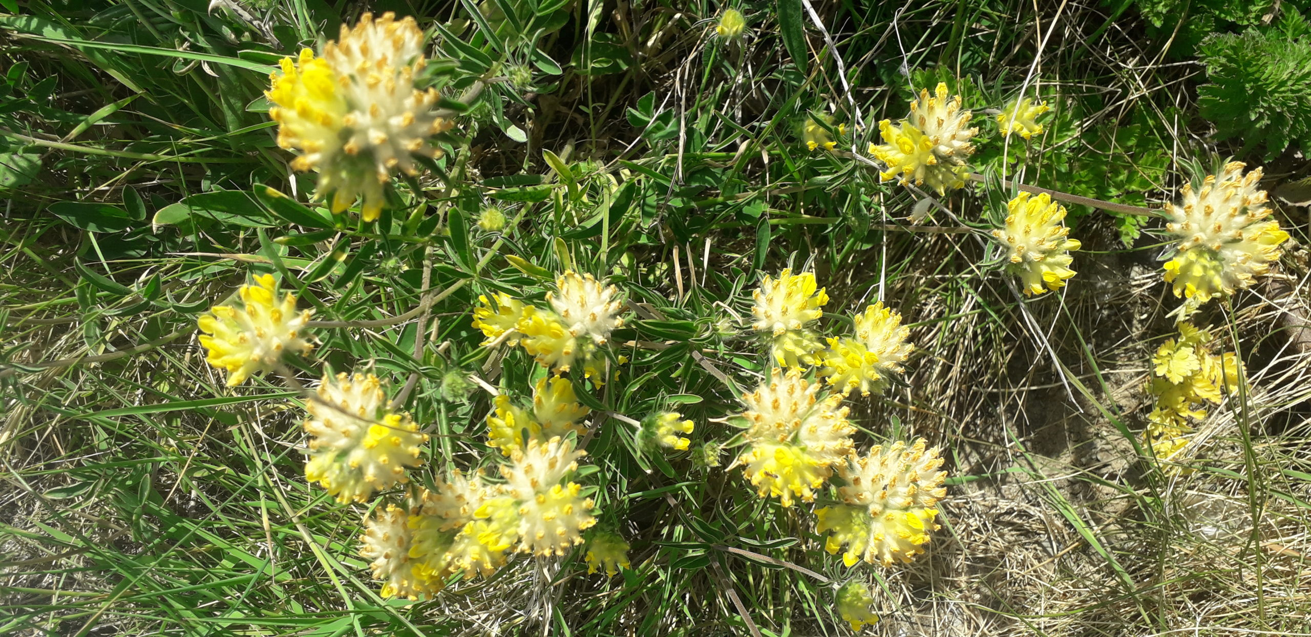 wild-kidney-vetch-foraging-coastal-plants-orchards-near-me