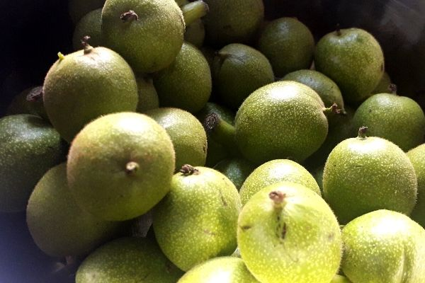 green-walnuts-summer-foraging