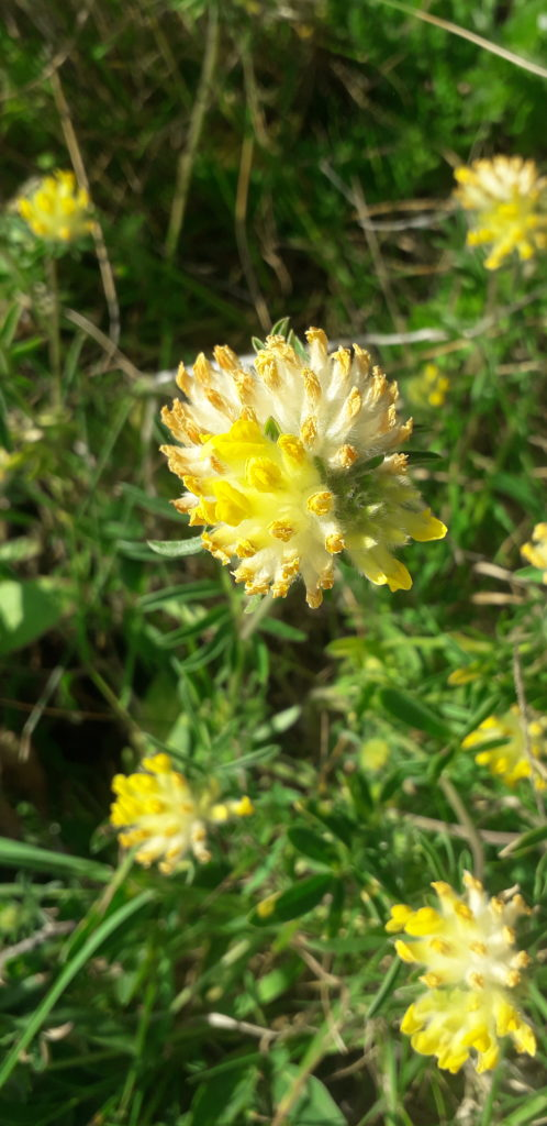 kidney-vetch-coastal-wild-plants
