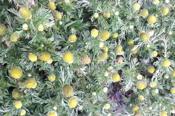 pineapple-weed-coastal-foraging-in-summertime